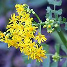 Yellow Cress by CatKV