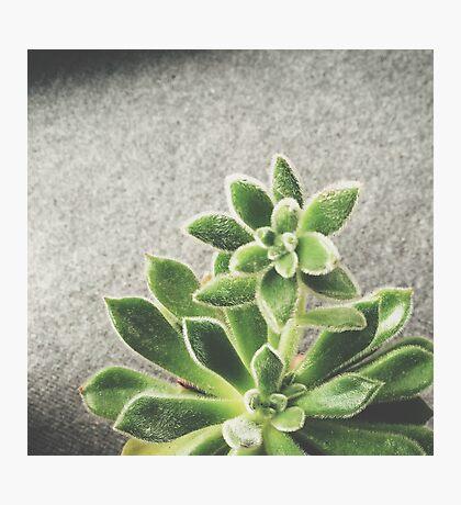 Succulent 01 Photographic Print