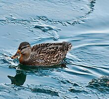 Female Mallard in Icing Water by Gerda Grice