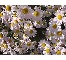 daisy patch Photographic Print