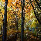 Autumn beech forest  by Vasil Popov