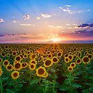 Sunflower Sunset by Rick Louie
