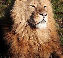 Lion in the morning Sun by John Dunbar