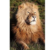 Lion in the morning Sun Photographic Print