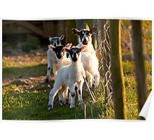 Lambs in a field at Dentdale Poster