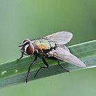 Aye, Aye says the Fly! (Eye) by cathywillett