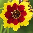 Colorful Coreopsis by lorilee