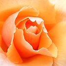 Hybrid Tea. Just Joey.    by Esther's Art and Photography