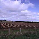 onion paddock - Stanley (Tasmania) by gaylene