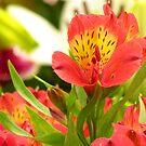Alstroemeria - Peruvian Lily by Shiju Sugunan