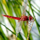 Red Dragonfly by Eduardo Ventura