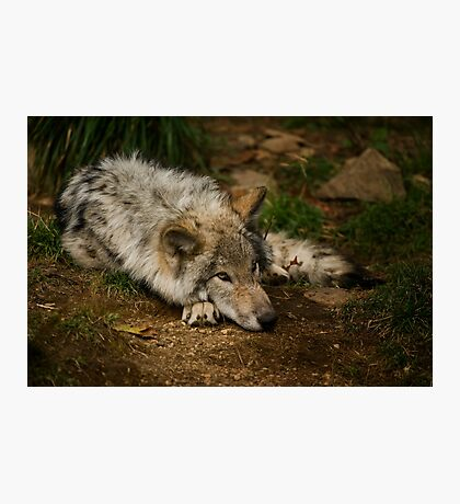Timber Wolf Pup Photographic Print