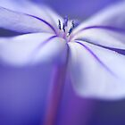 Single Plumbago Flower by Margaret Barry