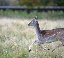 Fallow Deer Fawn Running  by Chris Monks