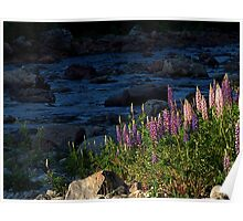 Lupines on Blue Poster