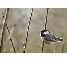 Black-capped Chickadee 1 Photographic Print