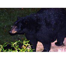 Black Bear Visitor Photographic Print