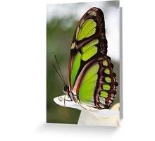 Siproeta stelenes - Malachite Butterfly Greeting Card