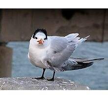 Lesser Crested Tern Photographic Print