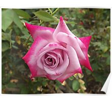 White and Pink Rose Poster