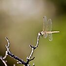 Dragonfly South by Marie Moriscot