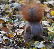 Small beautiful Squirrel. Белка. by Brown Sugar . Views (126) favorited by (2) Thx! by © Andrzej Goszcz,M.D. Ph.D