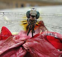 Dragonfly Rose Petal by earthmover