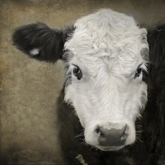 Fuzzy Wuzzy, the Cow by kristijohnson