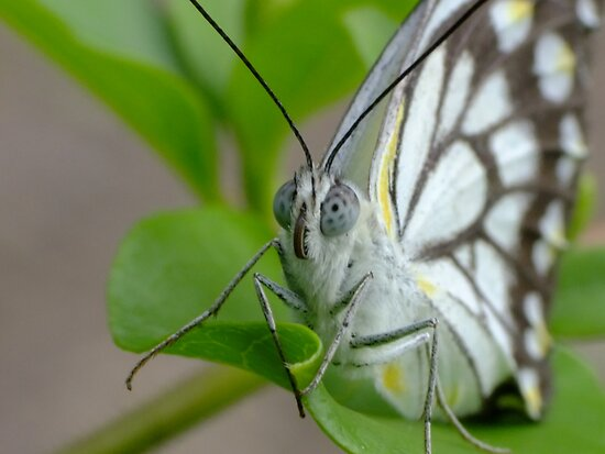 Caper White Butterfly - Belenois java (former Anaphaeis java) by Gabrielle  Lees
