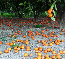 Orange grove by Kate Fortune