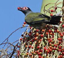 A male fig bird by STHogan