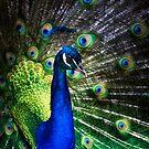 Peacock Pride by Ian English