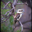 Kookaburra Sits In The Old Gum Tree... by Anna Ryan