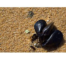 Trio of Mussels Photographic Print