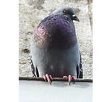 Pigeon on the wall Photographic Print