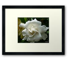 Pretty Camelia - 2 Framed Print