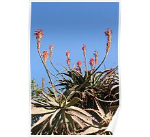 Flowering Aloes Poster