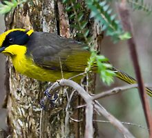 Yellow-tufted Honeyeater (Helmuted Honeyeater) Lichenostomus cassidix by David  Piko