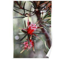 Australian Native Lambertia Formosa Poster