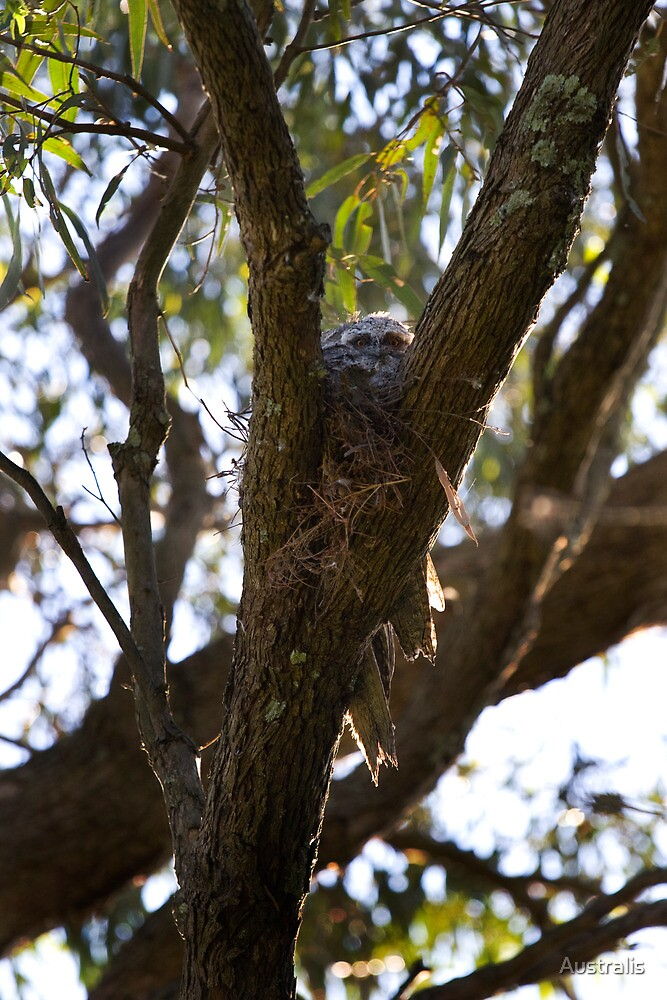 4 in the nest by Australis