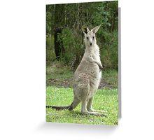 Look at me, young kangaroo at Bombah Point Greeting Card