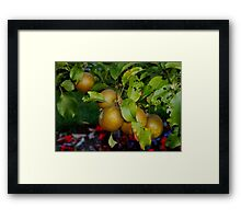 English Russet Apple Framed Print