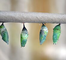 Cocoons by suz01