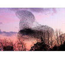 Murmuration of Starlings at Gretna (2), November 5th 2011 Photographic Print