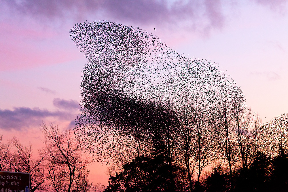 Murmuration of Starlings (3) at Gretna, November 5th 2011 by Jan Fialkowski