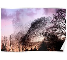 Murmuration of Starlings at Gretna, November 5th 2011 Poster