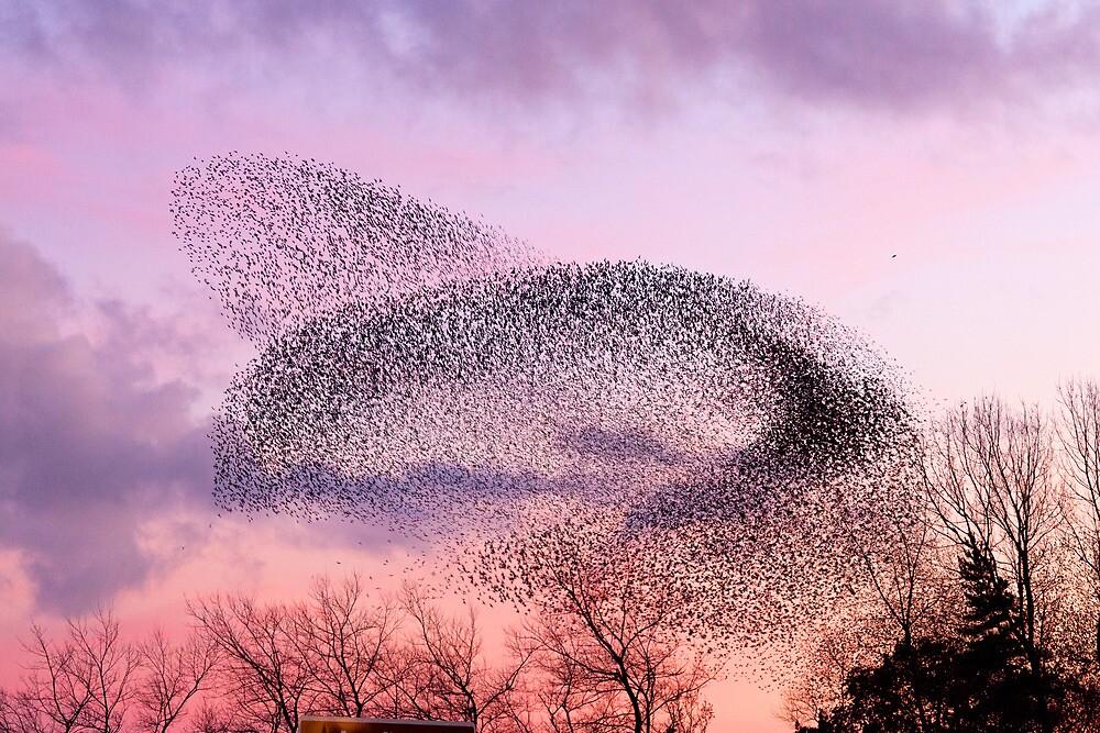 Murmuration of Starlings, November 5th 2011 by Jan Fialkowski