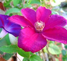 Clematis and Morning Glory by MarianBendeth