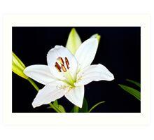 White Lily IV Art Print