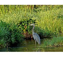 Herron at Oliver Mill Photographic Print